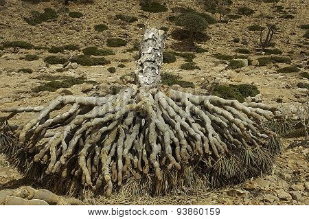 Dragon Blood Tree, Dracaena cinnabari, Socotra dragon tree,  Threatened species