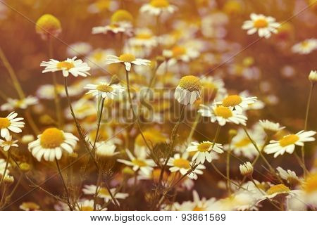 Chamomile flower (wild chamomile)