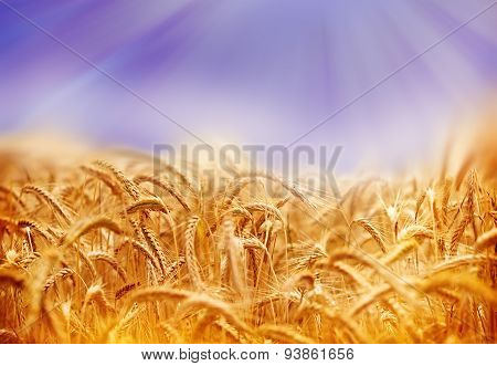 Wheat field illuminated by sun rays