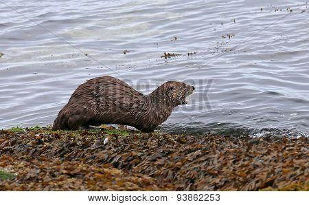Otter Calling