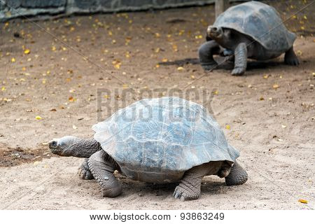 Two Giant Tortoises