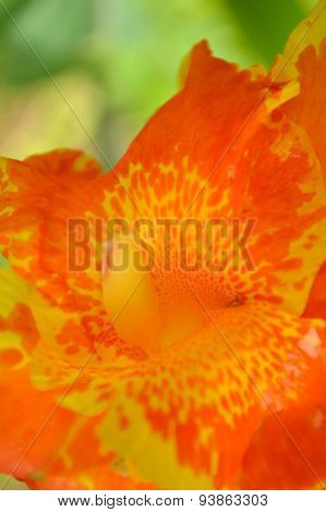 Canna Lily Bloom, Yellow And Orange