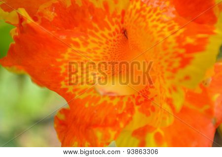 Canna Lily, Orange And Yellow Spotted