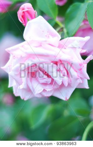 Light Pink Hybrid Rose