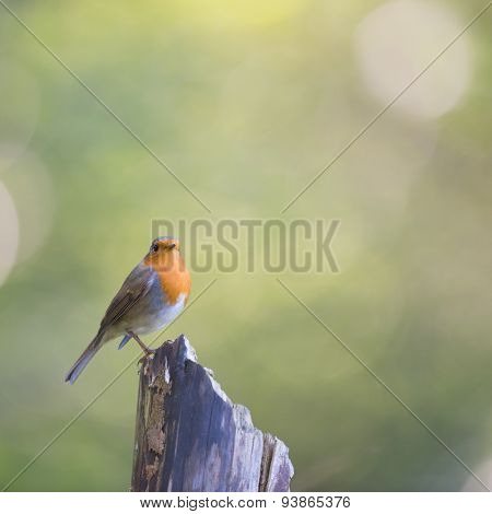 European Robin in forest on tree trunk