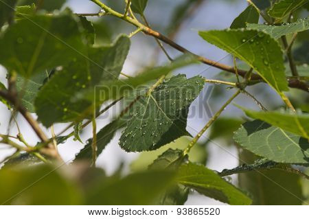 Sunlight on raindrops on Aspen leaves