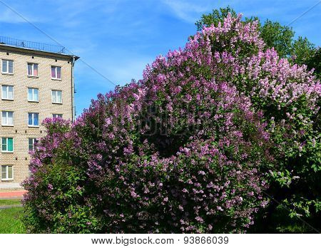 Landscape. Spring In The City. Lilac Bush.