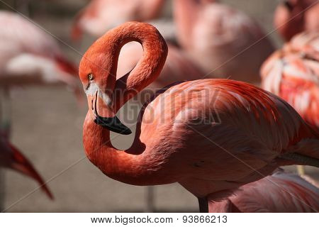 Caribbean flamingo (Phoenicopterus ruber), also known as the American flamingo. Wildlife animal.