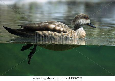Crested duck (Lophonetta specularioides). Wildlife animal.