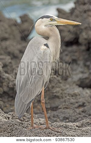 Great Blue Heron On An Ocean Shore