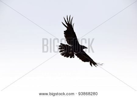Black scary raven flying