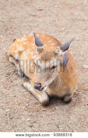 Deer without antler at Nara Japan