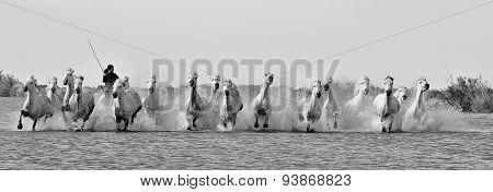 White Camargue Horses run