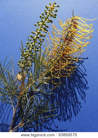 Yellow Grevillea Onblue Background In Sunlight