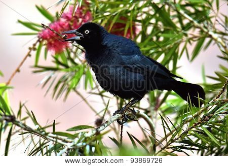 The Greater Antillean Grackle (quiscalus Niger)