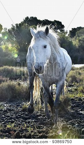 Portrait Of The White Camargue Horse.