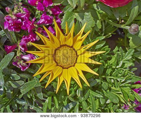 yellow gazania flower close-up