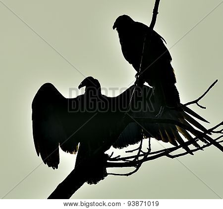 Turkey Vulture (cathartes Aura) In Silhouette