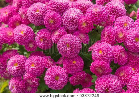 Beautiful Of Chrysanthemum Pink Flowers In Garden