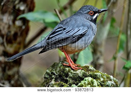 Red legged Thrush Cuba variation Turdus plumbeus