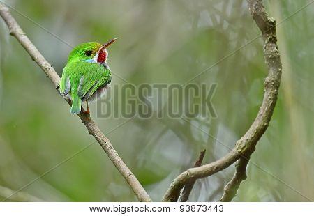 Cuban Tody (todus Multicolor)