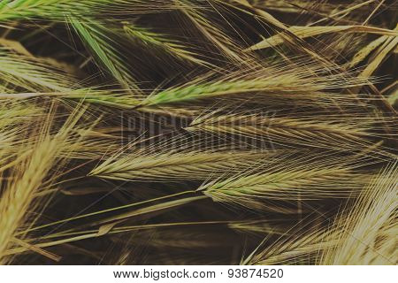 Wheat On A Meadow Close-up