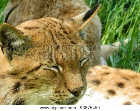 Eurasian Lynx Closeup With Eyes Closed