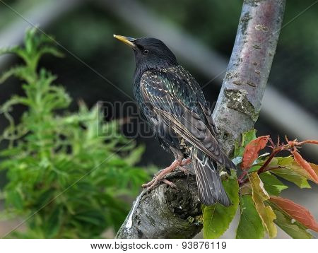 Adult Starling.