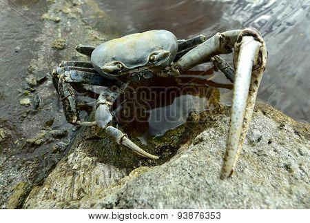 Blue Land Crab (Cardisoma Guanhumi) Mangrove Land