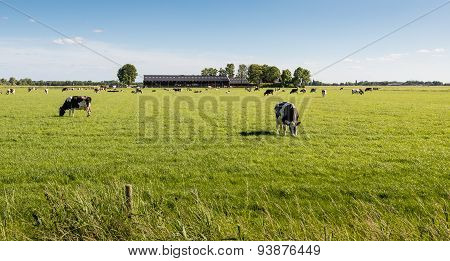 Peacefully Grazing Cows In The Pasture