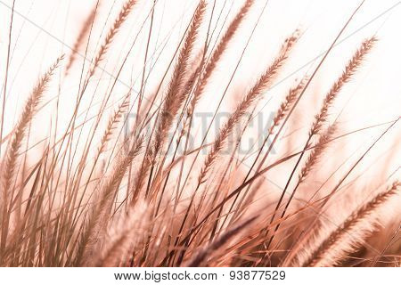 Blur Textured Background of Pampas Grass