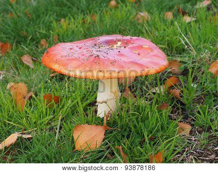 Poisonous Amanita muscaria mushroom