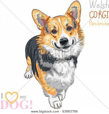 vector sketch dog Pembroke Welsh corgi smiling