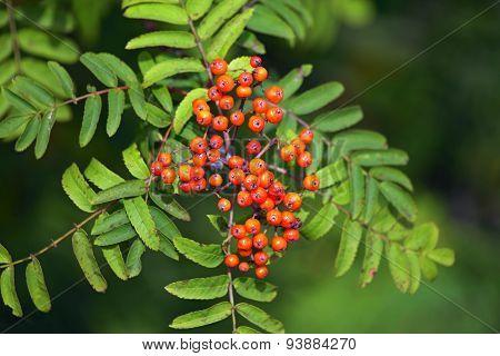 Rowan Berries.