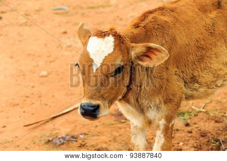 Closeup on the face of a calf with white heart shaped patch on its forehead