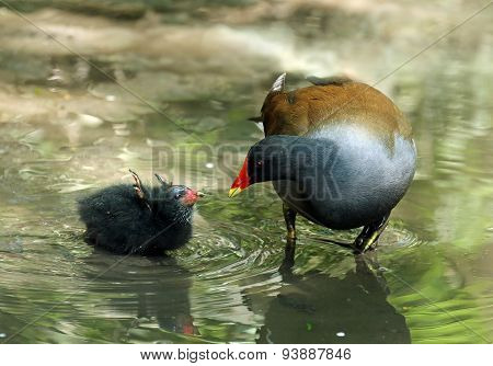 Common Moorhen And Baby