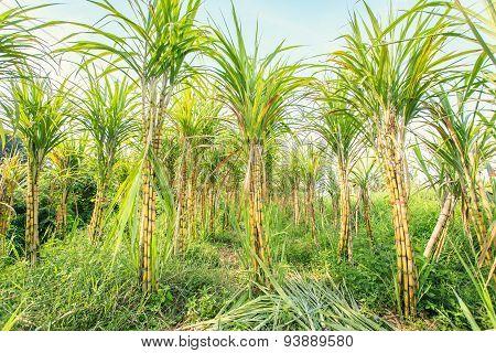 Sugarcane In Plantation In Thailand