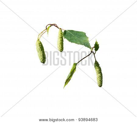 White Birch Seed Pods