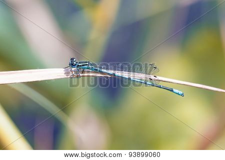 Scarce Blue Tailed Damselfly