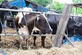 foto of dairy barn  - cows in a farm Dairy cows eating in a farm location Thailand - JPG