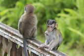 picture of macaque  - Baby Macaque monkey - JPG