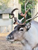 stock photo of caribou  - Reindeer male with antler velvet peeling straw on ground - JPG