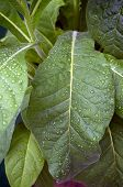 picture of tobacco leaf  - Close up of large green tobacco leaves covered with rain drops at later afternoon - JPG