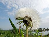 stock photo of dandelion  - Close - JPG