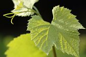 foto of tendril  - Young grape leaves and tendril backlit - JPG