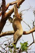 foto of koala  - Koala in Great Ocean Road - JPG