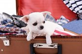 stock photo of dog clothes  - Adorable chihuahua dog in suitcase with clothing close up - JPG