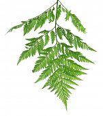 stock photo of fern  - Green fern leaf isolated on white - JPG