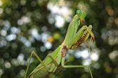 image of creepy crawlies  - green praying mantis close up  - JPG