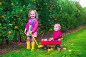 picture of apple orchard  - Child picking apples on a farm - JPG